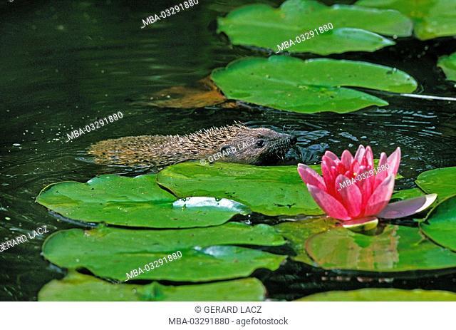 European hedgehog, Erinaceus europaeus, adult animal swims in the pond