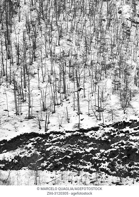 Beech tree forest texture with snow (Fagus sylvatica). Montseny Natural Park. Barcelona province, Catalonia, Spain