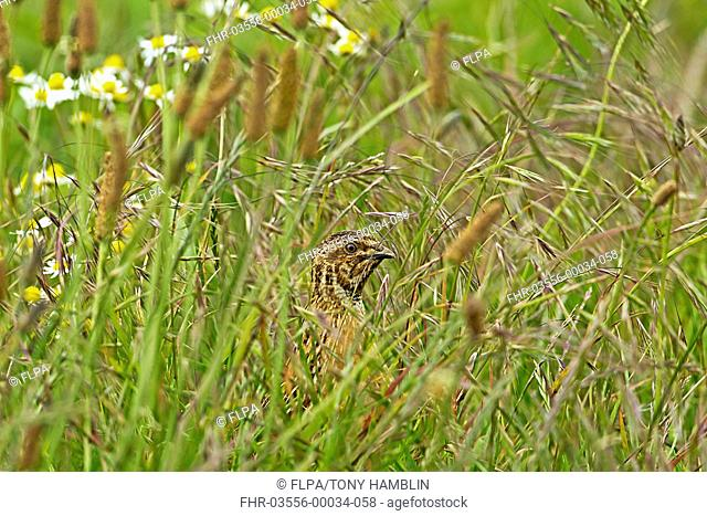 Common Quail Coturnix coturnix adult male, standing amongst grass on set-a-side field in farmland, Warwickshire, England, june