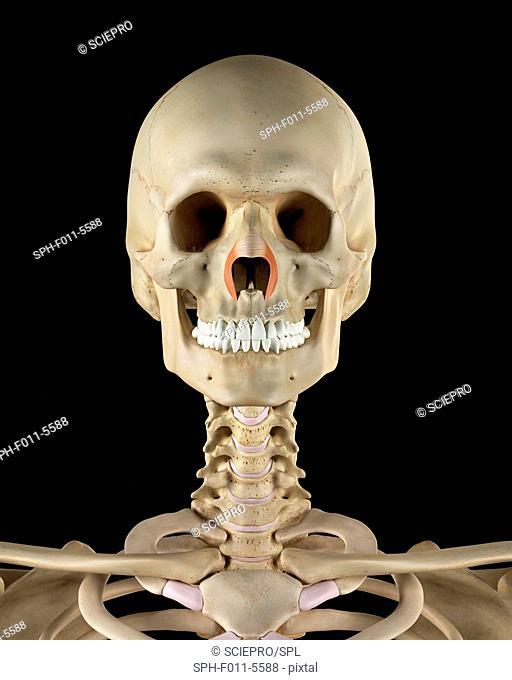 Human facial muscles, computer illustration