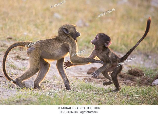 Africa, Southern Africa, Bostwana, Chobe i National Park, Chobe river, Chacma Baboon (Papio ursinus), babies playing