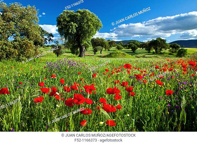 Poppies in a meadow, La Serena, Badajoz province, Extremadura, Spain