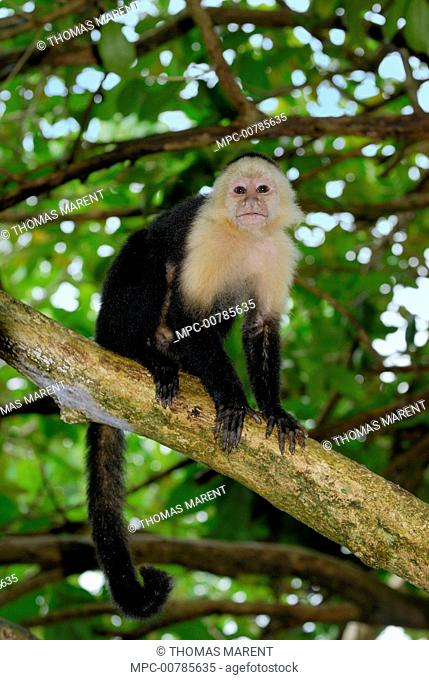 White-faced Capuchin (Cebus capucinus) in tree, Cahuita National Park, Costa Rica