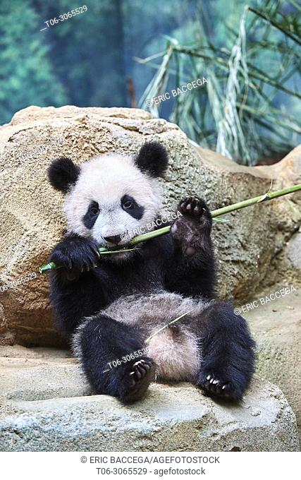 Giant panda cub (Ailuropoda melanoleuca) playfully chewing a bamboo stick. Yuan Meng, first giant panda ever born in France