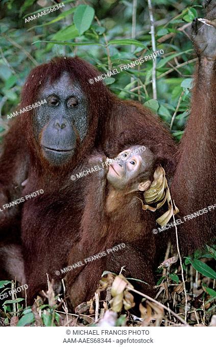 Borneo Orangutan (Pongo p. pygmaeus) Mom with Baby, feeding, Indonesia, endangered