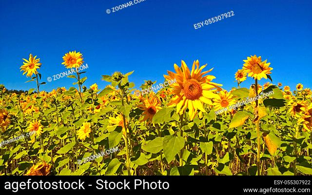 Field of blooming sunflowers on sunny summer day, agriculture landscape and farm background, countryside concept