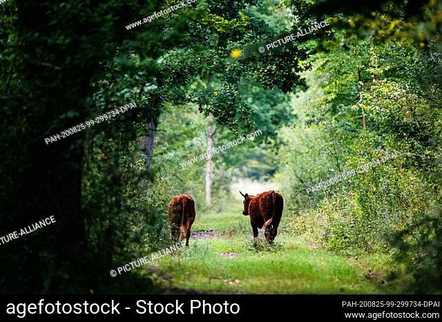 "19 August 2020, Baden-Wuerttemberg, Kappel-Grafenhausen: Two cattle trot along a forest path. On the so-called """"wild pastures"""" near Kappel-Grafenhausen"