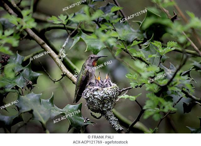 Anna's hummingbird (Calypte anna), a medium-sized hummingbird native to the west coast of North America