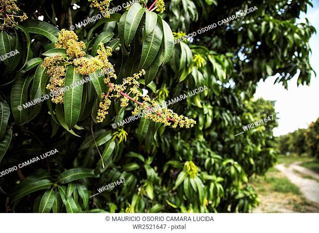 Mango; Colombia