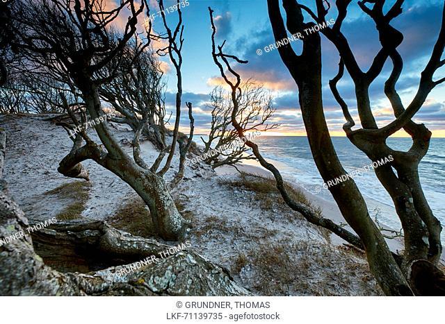 Beech forest am Weststrand, Darss, Baltic sea coast, Mecklenburg Vorpommern, Germany