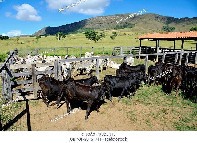Nelore and angus breed cattle for vaccination, São João Batista do Glória, Minas Gerais, Brazil, 06.2015