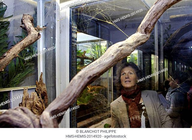 France, Paris, National Museum of Natural History, Botanical Gardens, Christine Rollard, araneologist, watching a golden orb-web spider in the vivarium