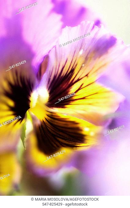 Lavender with Yellow Pansy Flower. Viola x wittrockiana