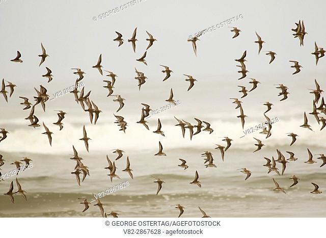 Shorebirds in flight, Driftwood Beach State Park, Oregon
