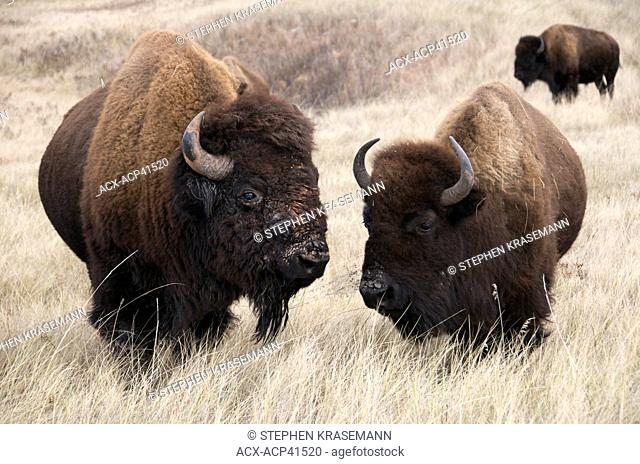 American bison bull and cow Bison bison, Wind Cave National Park, South Dakota, United States of America