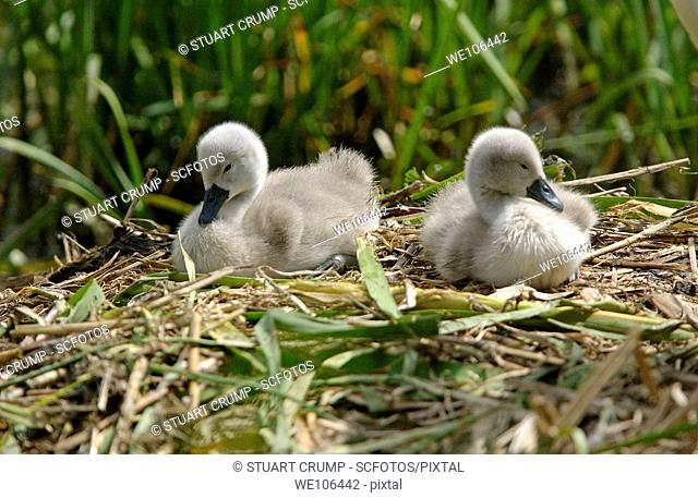 Pair of Mute Swan Cygnets at Swithland Reservoir in Leicestershire,England, UK