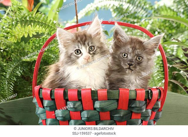 Maine Coon cat - two kittens in a basket