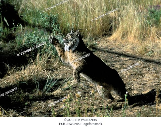 Iberian lynx in the Coto Donana nature reserve