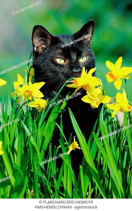 Cat (Felis silvestris catus), European Shorthair