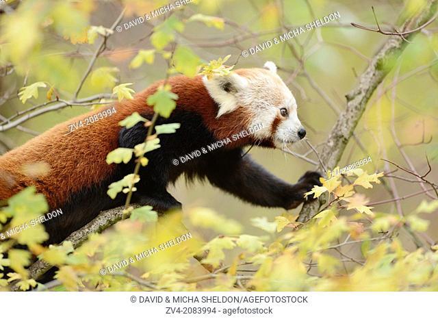 Red panda (Ailurus fulgens) on a bough
