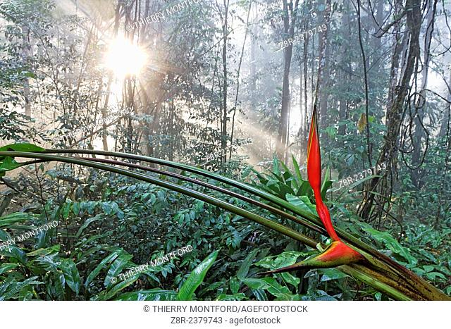 Heliconia and sunset in the rainforest. French Guiana