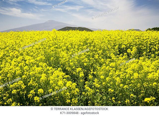 Blooming yellow canola field on Jeju Island, South Korea, Asia