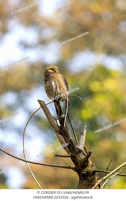 India, Tripura state, Asian barred owlet (Glaucidium cuculoides), perched on a tree