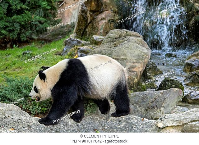 Giant panda (Ailuropoda melanoleuca) walking in front of waterfall, ZooParc de Beauval, France