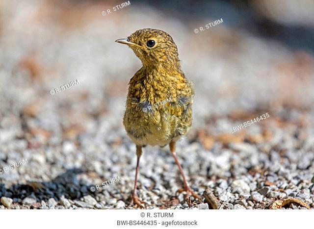 European robin (Erithacus rubecula), juvenile on the ground, Germany, Bavaria, Oberbayern, Upper Bavaria
