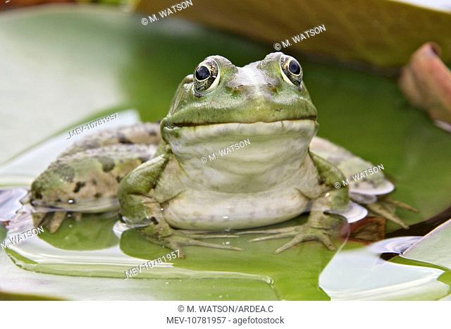 Edible / Green Frog - resting on lily pads (Rana esculenta)