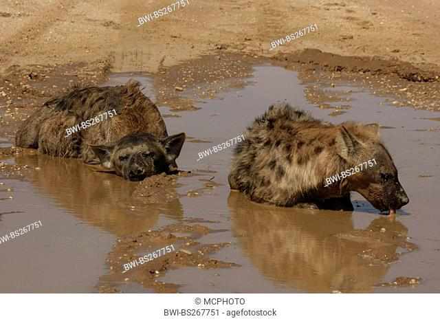 spotted hyena Crocuta crocuta, couple bathing and drinking in a water hole in an arid region, South Africa, Northern Cape, Kgalagadi Transfrontier Park
