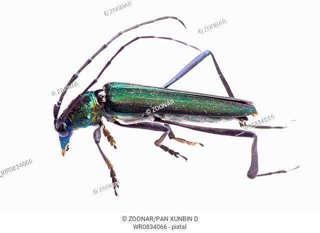 longicorn longhorn beetle