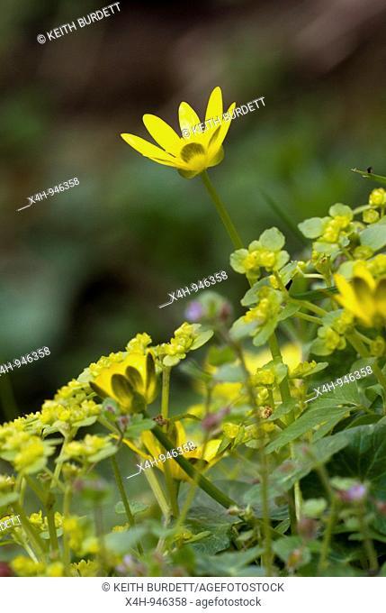 Lesser Celandine Ranunculus ficaria, Wales