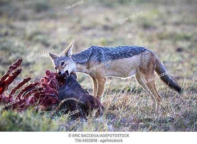 Black-backed jackal (Canis mesomelas) feeding on wildebeest carcass. Masai Mara National Reserve, Kenya