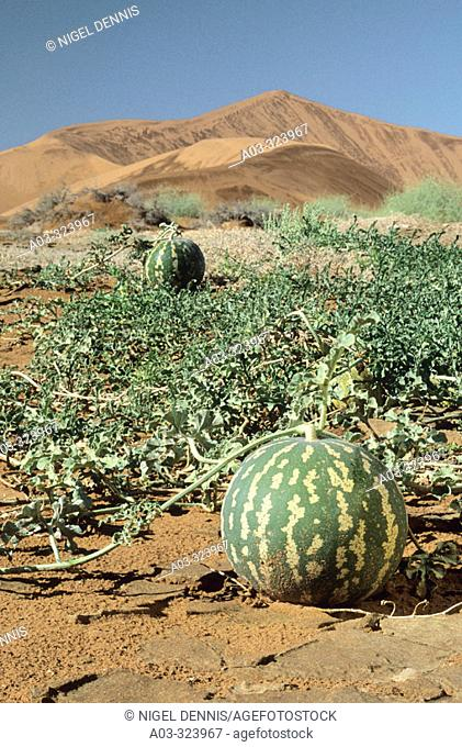 Namib Scene, Tsamma melons, Citrullus ecirrhosus, Namib Naukluft Park, Namibia