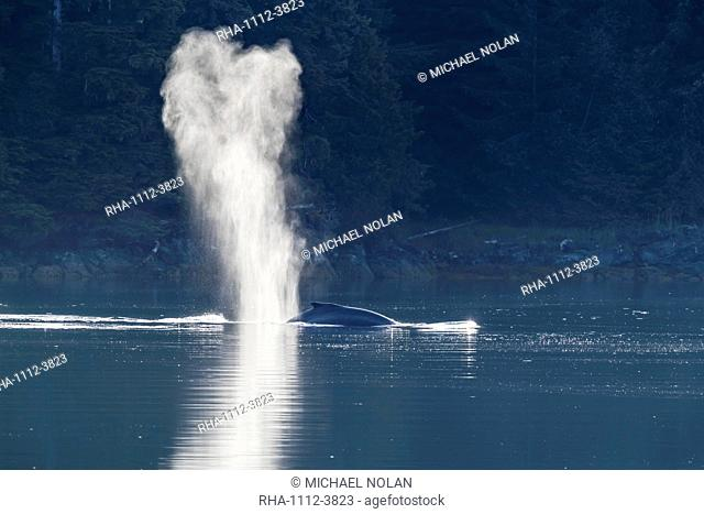 Humpback whale (Megaptera novaeangliae) surfacing near Chichigof Island, southeast Alaska, United States of America, North America