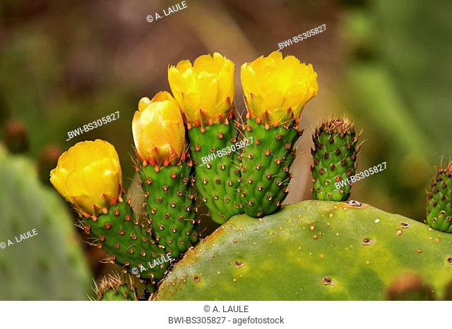 Indian fig, cactus pear (Opuntia ficus-indica, Opuntia ficus-barbarica), with yellow flowers, Canary Islands, La Palma
