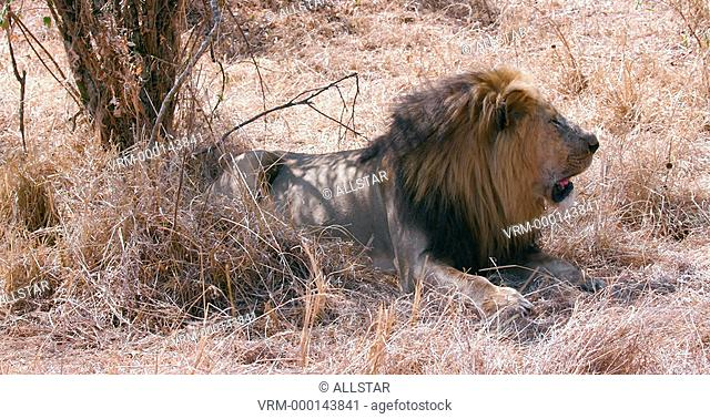 MALE LION RESTING IN SHADE; MAASAI MARA, KENYA, AFRICA; 03/09/2016