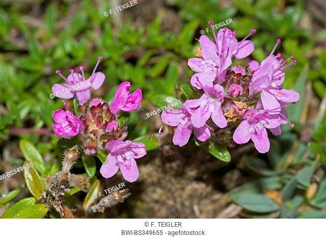 Wild thyme, Breckland thyme, Creeping thyme (Thymus serpyllum), inflorescence, Switzerland