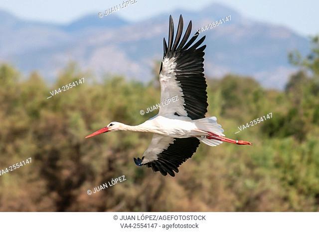 White stork Ciconia ciconia. Aiguamolls de l'Empordà natural park, Catalonia, Spain