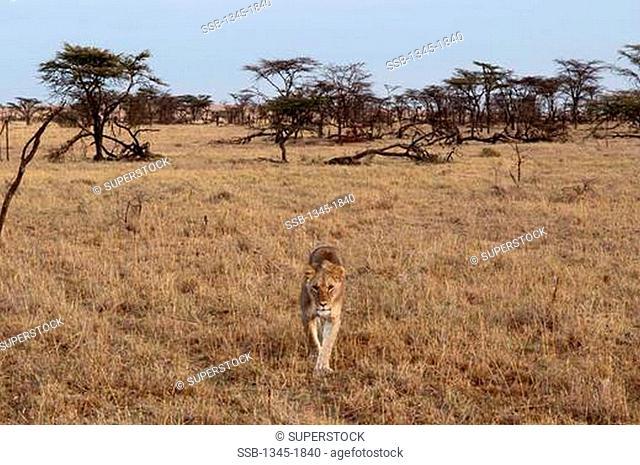 Africa,Kenya, Masai Mara, Lion Panthera leo in savannah