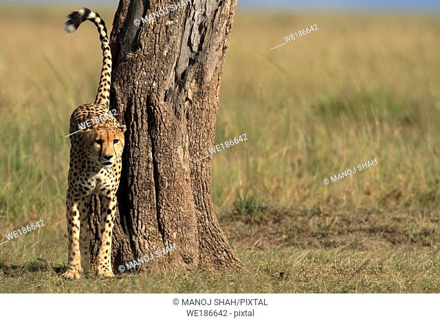 Walking across the savannah, the male cheetah comes across a shady acacia tree It smelsl the tree and scent marks it with urine