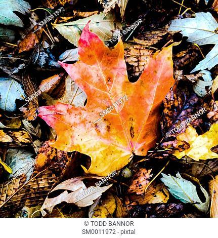 Fallen autumn sugar maple leaf