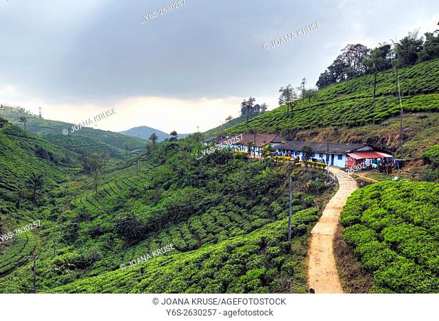 tea plantation in Peermade, Kerala, India, Asia