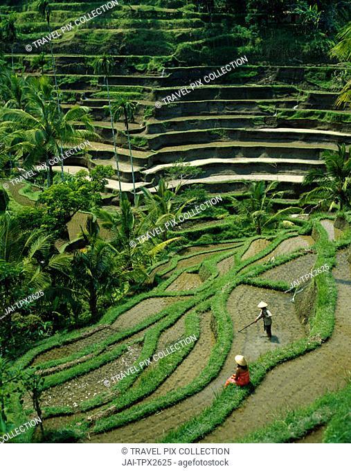 Ubud / Rice Terraces, Bali, Indonesia