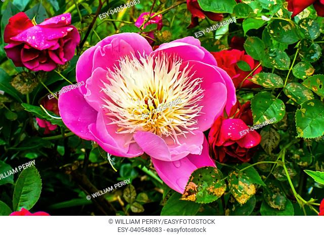 Pink White Petals Peony Flower Paeonia Perrenial Red Roses