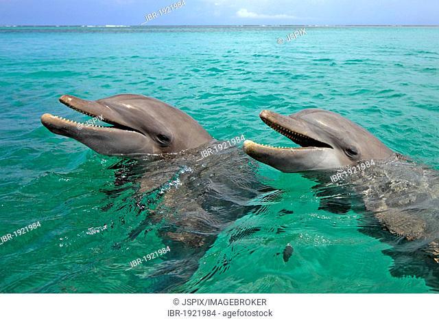 Two Bottlenose Dolphins (Tursiops truncatus), adult, swimming, Roatan, Honduras, Caribbean, Central America, Latin America