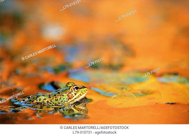 Frog (Rana perezi)