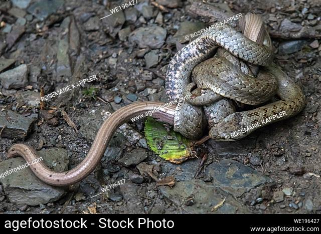 A smooth snake wraps around a captured slow worm