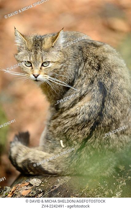 Close-up of a European wildcat (Felis silvestris silvestris) in a forest in spring